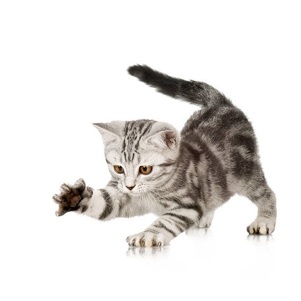British Shorthair kitten  claw stock pictures, royalty-free photos & images