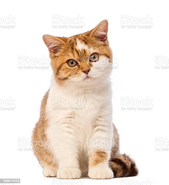 British shorthair kitten sitting and looking at the camera picture id168674433?b=1&k=6&m=168674433&s=612x612&h=khacoji3nwntwowlnmgluaacafjkfvhzjzlgk rdusq=