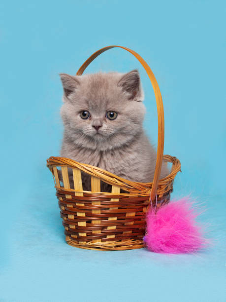 Cтоковое фото British Shorthair kitten sitting in a wicker basket on a blue background.