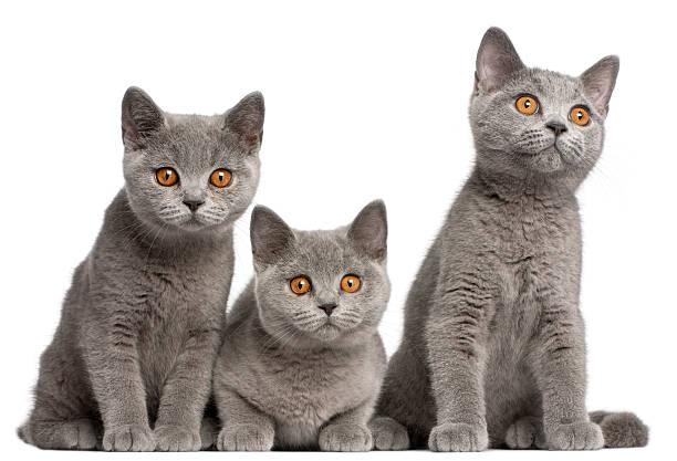 British shorthair kittens 3 months old picture id450487079?b=1&k=6&m=450487079&s=612x612&w=0&h=nenqumkodthynrmwhdjdfmrbgkgmg0phyv3eiv0rl 4=