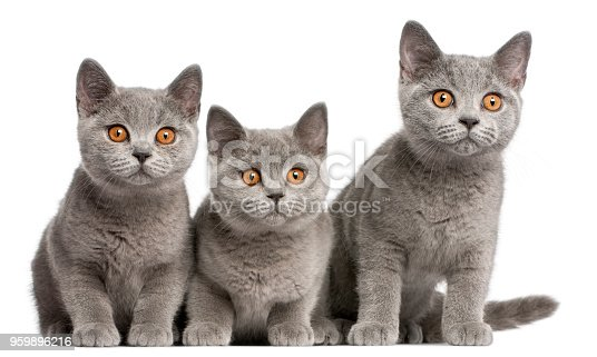 istock British Shorthair kittens, 3 months old, sitting in front of white background 959896216