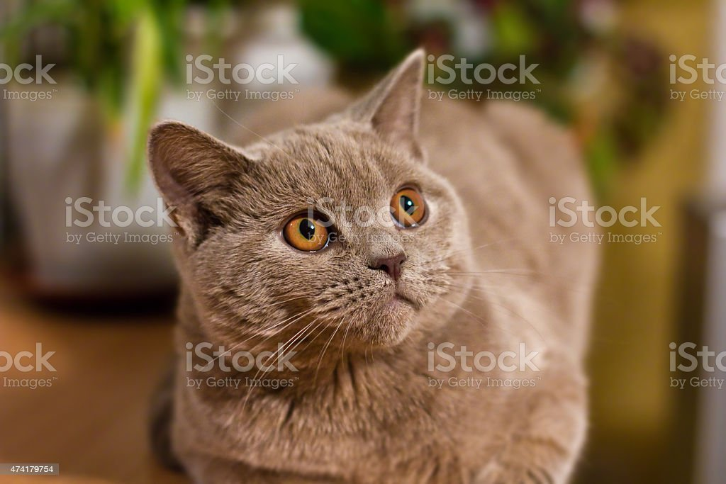 British Shorthair Lilac Cat Stock Photo Download Image Now Istock