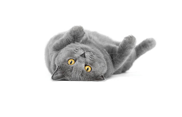 British shorthair lying British shorthair lying on a white ground lying on back stock pictures, royalty-free photos & images