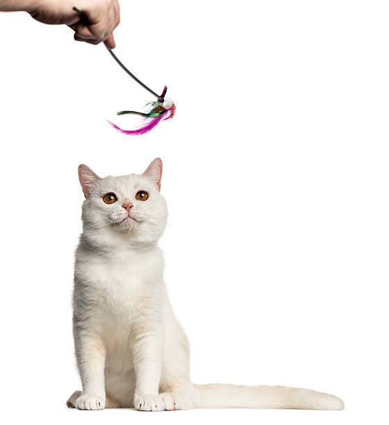 British shorthair playing with a stick toy isolated on white picture id612661088?b=1&k=6&m=612661088&s=612x612&w=0&h=vzb7ap xhi4s2jes8qrb lxjhbcyvtlh8l2hrxwibea=