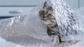 British shorthair silver tabby cat pplaying with bubble wrap