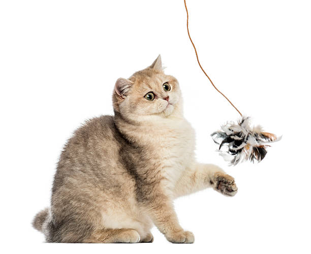 British shorthair sitting playing with feather toy isolated picture id480474871?b=1&k=6&m=480474871&s=612x612&w=0&h=lu2zrinndysxtpykge1nbprgu gr 7ch ctv7odjdp4=