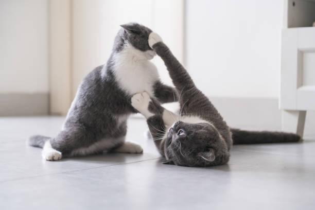 Papai de gato de pelo curto britânico e gatinho - foto de acervo