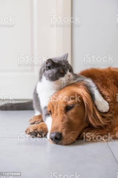 British shorthaired cat holds golden retriever dog picture id1142794593?b=1&k=6&m=1142794593&s=612x612&h=g 2el6u8aceylnwvxrxfmqp16bzozb9j85xnymjea2e=