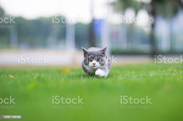 British shorthaired cat playing on grass picture id1068159060?b=1&k=6&m=1068159060&s=612x612&h=pr6akbs12 43bwu7iagqafpmzhy7k8zc7lcg92vhfy0=