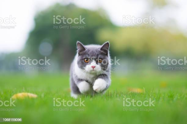 British shorthaired cat playing on grass picture id1068159096?b=1&k=6&m=1068159096&s=612x612&h=newmcsjryd873zkpt4wcbpv of4s zhhiqm7bsmbnyc=