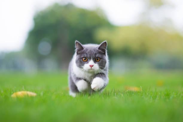 Gato de pelo curto britânico jogando na grama - foto de acervo