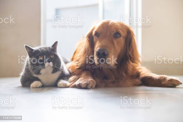 British shorthaired cats and golden retriever dogs get along amicably picture id1141172038?b=1&k=6&m=1141172038&s=612x612&h=cnjvhwzgu2jtjjhs0chbeppwvrodhg3bz2g6kftwj0e=