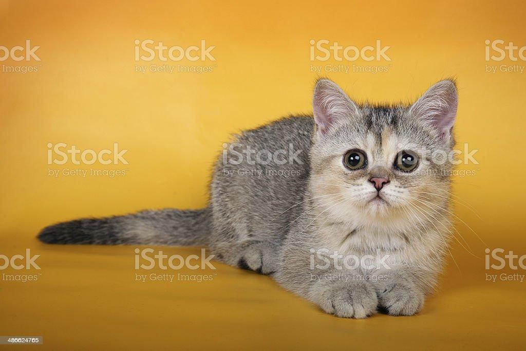 British silver kitten on orange background royalty-free stock photo