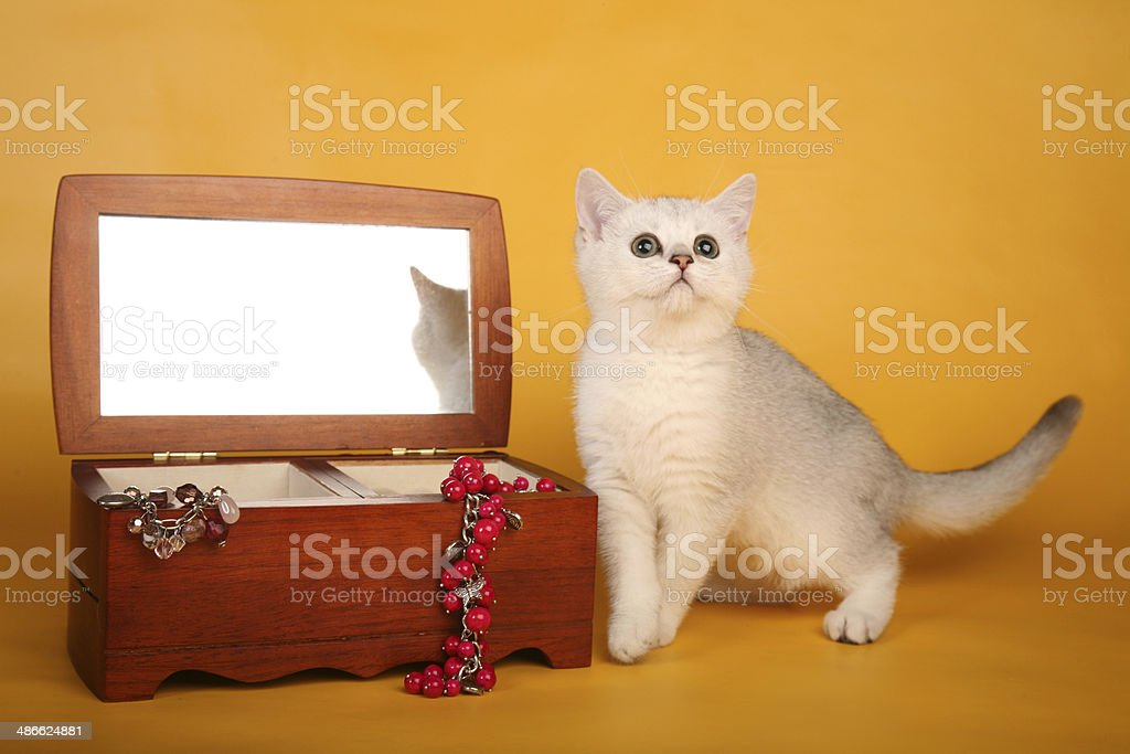 British silver kitten with open wooden chest royalty-free stock photo