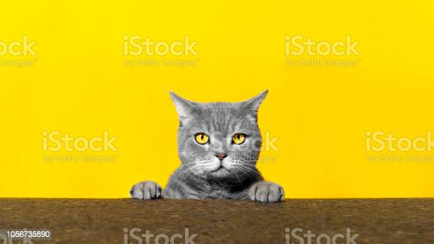 British sort hair cat poses behind blank banner picture id1056735890?b=1&k=6&m=1056735890&s=612x612&h=mbm8jpilx8h7i4xe86mm2g84ua0g bk p4cvtk9onqm=