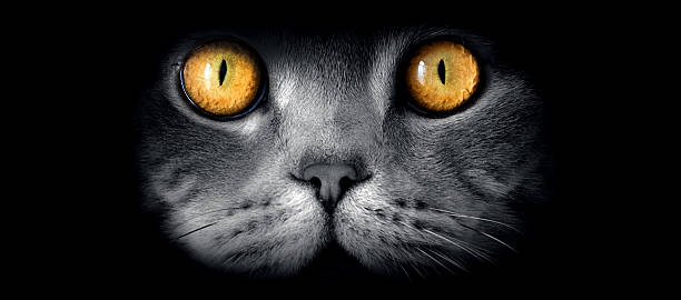 British sort hair cats fine art portrait with yellow eyes picture id586209664?b=1&k=6&m=586209664&s=612x612&w=0&h=pojlzhpkw5vmnsos6tsh4g9 qqmfpn4nt4zmlikt5zs=
