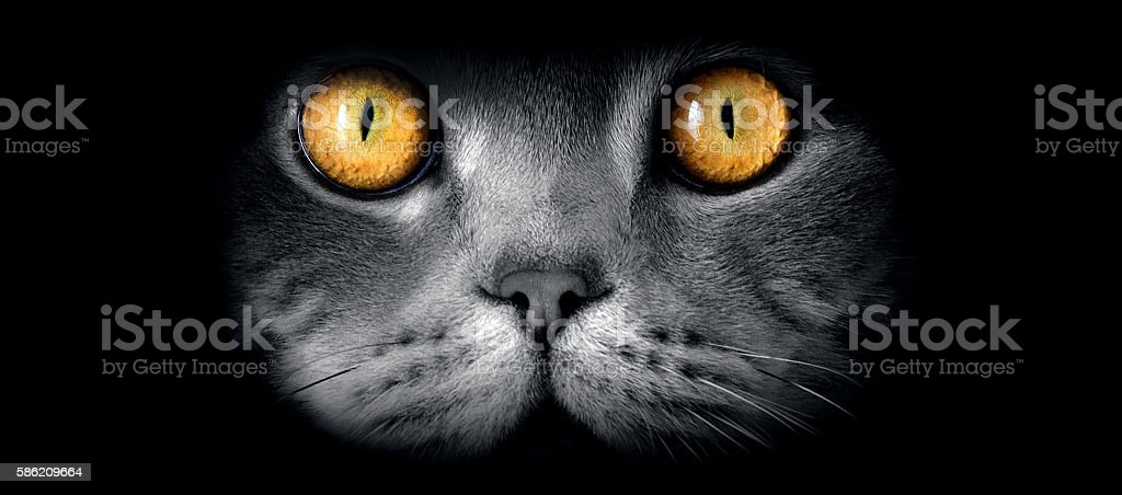 British sort hair cat's fine art portrait with yellow eyes stock photo