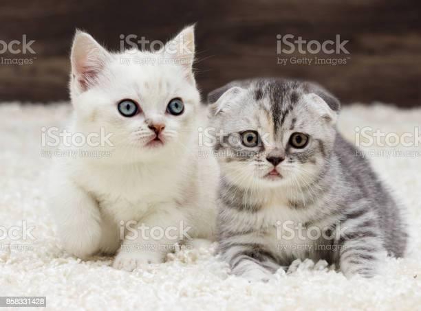 British straight kitten picture id858331428?b=1&k=6&m=858331428&s=612x612&h=bwn ni2fvykfo68dsswskw9c 3a1zhq xb lmzu0 hk=