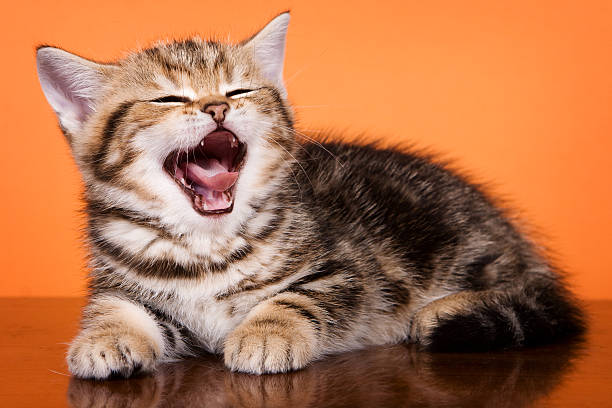 British striped ginger kitten yawns on an orange background picture id500696048?b=1&k=6&m=500696048&s=612x612&w=0&h=k0y3yi6ix9sxiaqyoucvnbsclzpu98qq3xhq6vgpwxu=