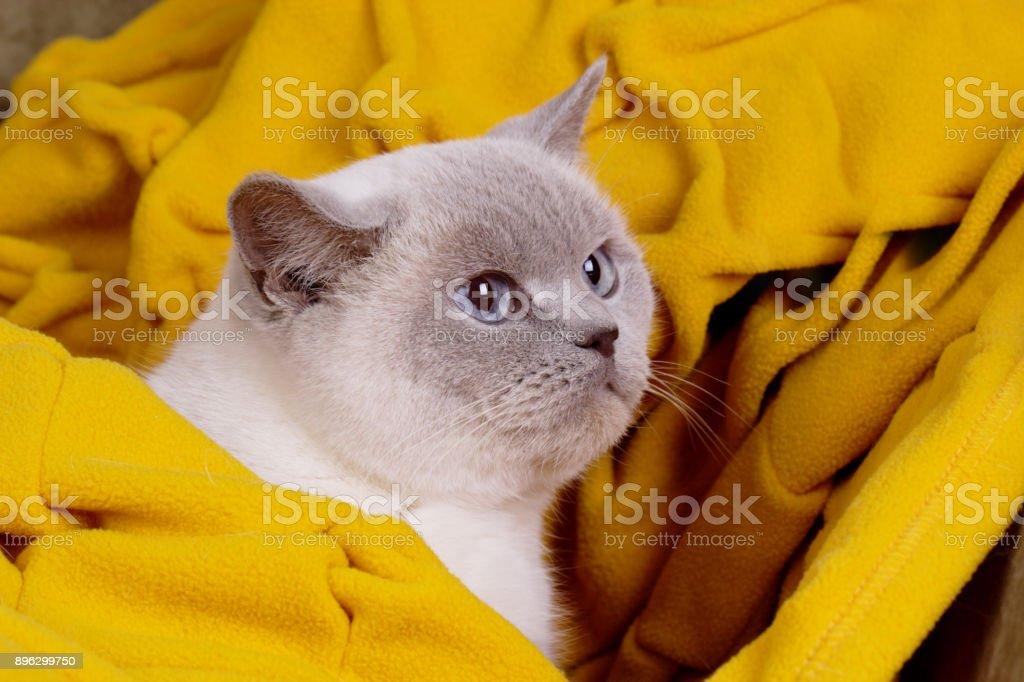 British white cat. British cat (color blue-point). British white cat with blue eyes stock photo