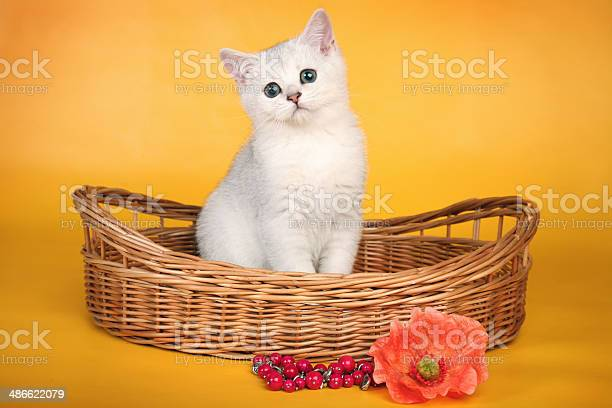 British white kitten in wicket basket with red flower picture id486622079?b=1&k=6&m=486622079&s=612x612&h=s6mpwk658mzw akrvnywemlbcdjkt7yhw 8rstqll0k=