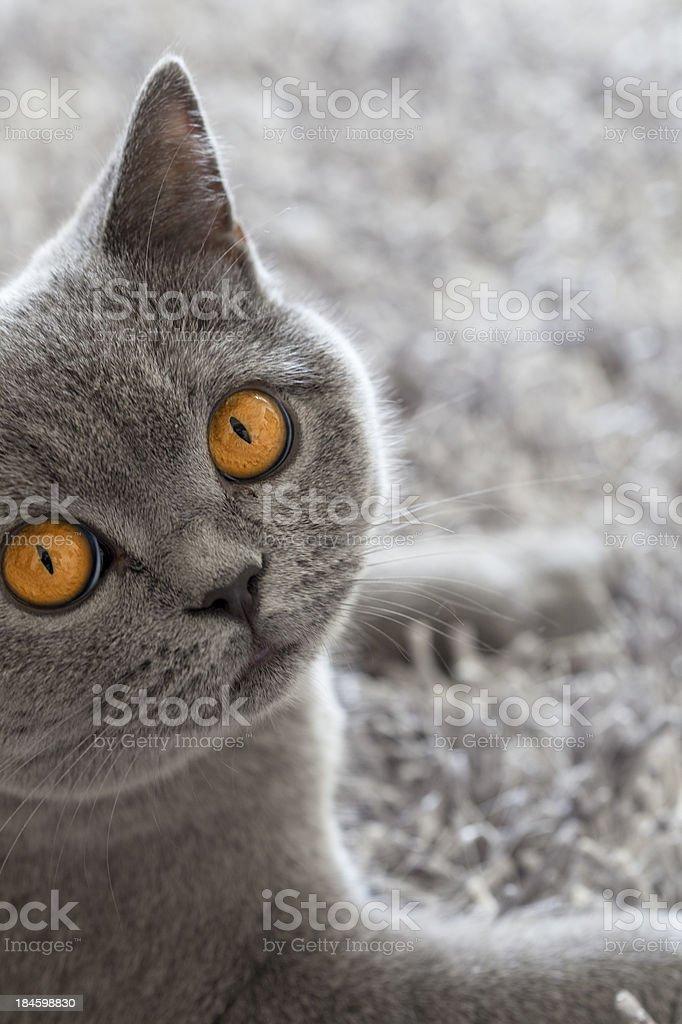 Britsh Shorthair Cat stock photo