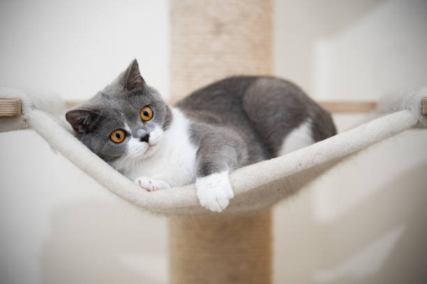 Britsh shorthair cat scratching post picture id1249883946?b=1&k=6&m=1249883946&s=612x612&w=0&h=6xgrxsgm4sdkg7u7epru3r5jg0vbq1knerjmd2e5za4=