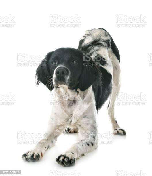 Brittany dog picture id1223558212?b=1&k=6&m=1223558212&s=612x612&h=qxzewcxt ncw9tzt00emrj3y457es 1i0m ubk4 o74=