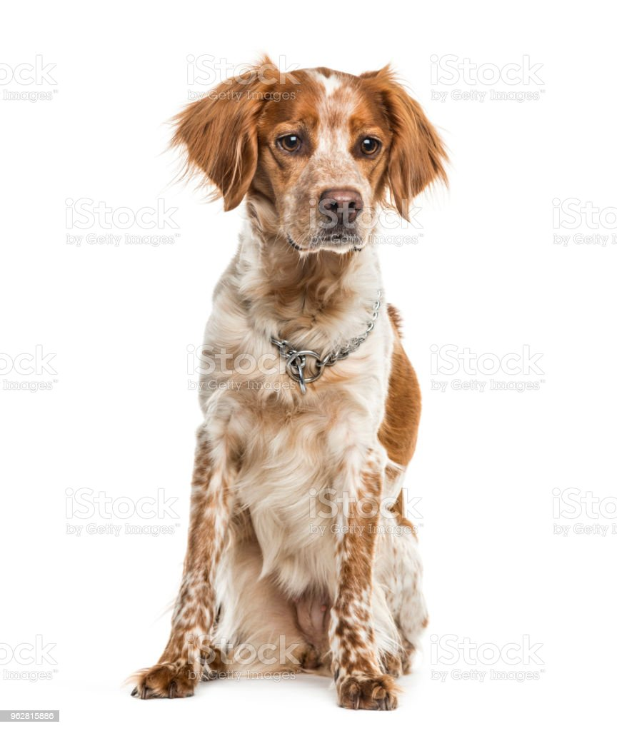 Cão de Brittany sentado contra o fundo branco - Foto de stock de Animal royalty-free