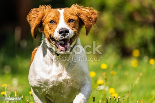 Brittany dog spaniel female puppy running through grass towards camera. Animal background. Copy space on right