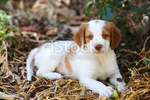 very cute 7.5 week old Brittany puppy