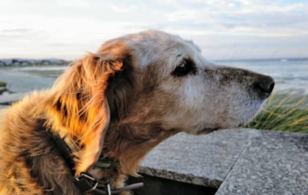 Brittany spaniel dog head by the beach. stock photo