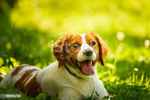 Brittany Spaniel dog lying in grass hidding from summer heat. Canine background