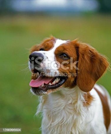 Brittany spaniel Dog, Portrait