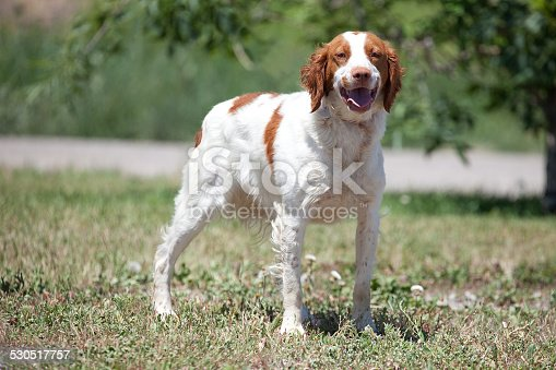 Brittany Spaniel hunting dog outdoors in field looking at camera.
