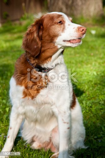 Brittany Spaniel looking to left.Similar Files.