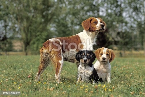 Brittany Spaniel, Mother with Cub standing on Grass