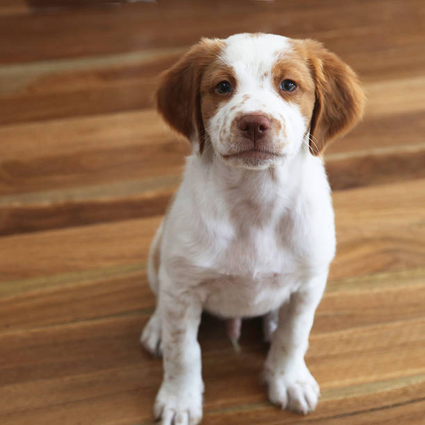 Brittany Spaniel on hardwood floor stock photo