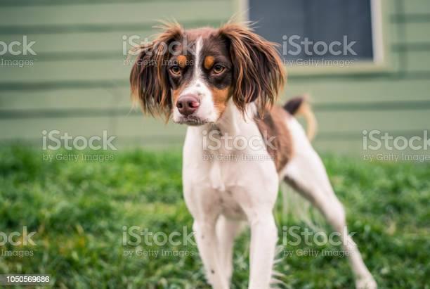 Brittany spaniel picture id1050569686?b=1&k=6&m=1050569686&s=612x612&h=rvhdjtmcfw4ffb8vxtqiqmyrax6dy0gpv47ojdf8zr8=
