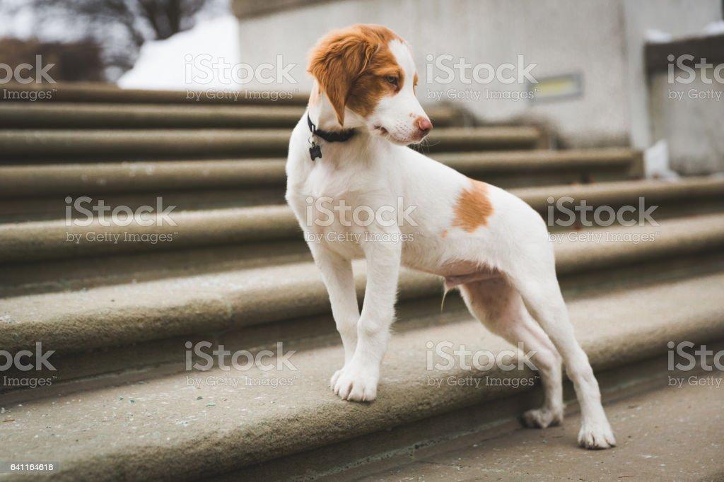 Brittany Spaniel stock photo