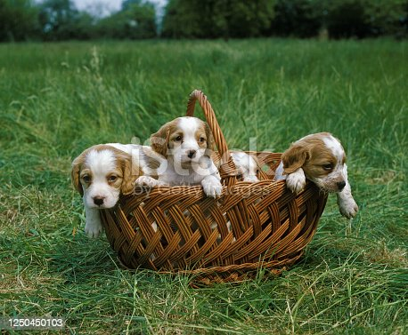 Brittany Spaniel, Pup standing in Basket