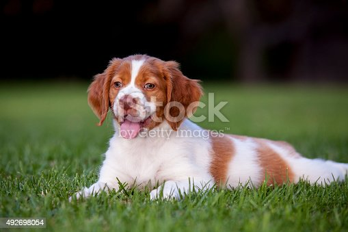 A Brittany Spaniel puppy lays in the grass with its head up looking forward.