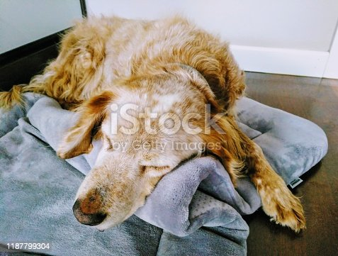 Brittany Spaniel resting indoors, sleeping on folded dog bed with head on pillow-like.