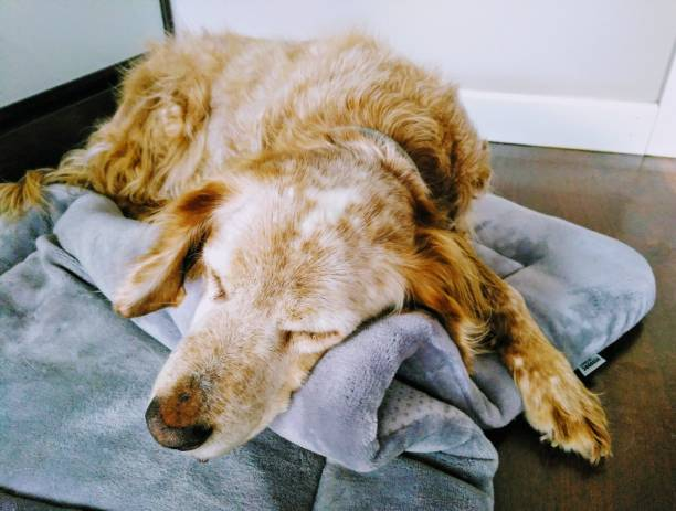 Brittany Spaniel resting comfortably indoors stock photo