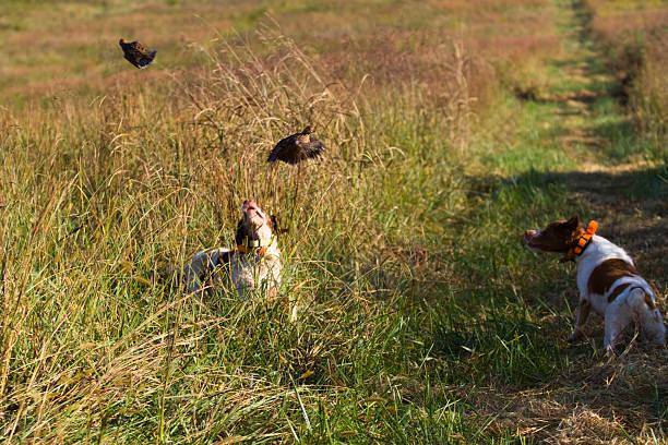 brittanys de la chasse d'eau - colin photos et images de collection