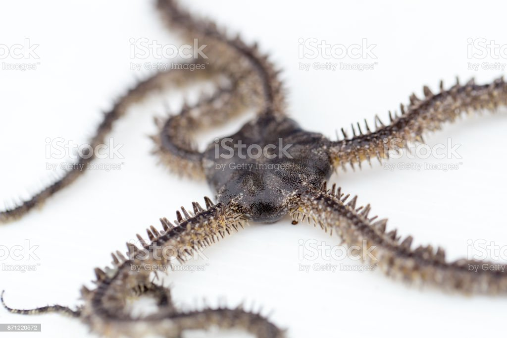 Brittle stars or ophiuroids are echinoderms in the class Ophiuroidea closely related to starfish. stock photo