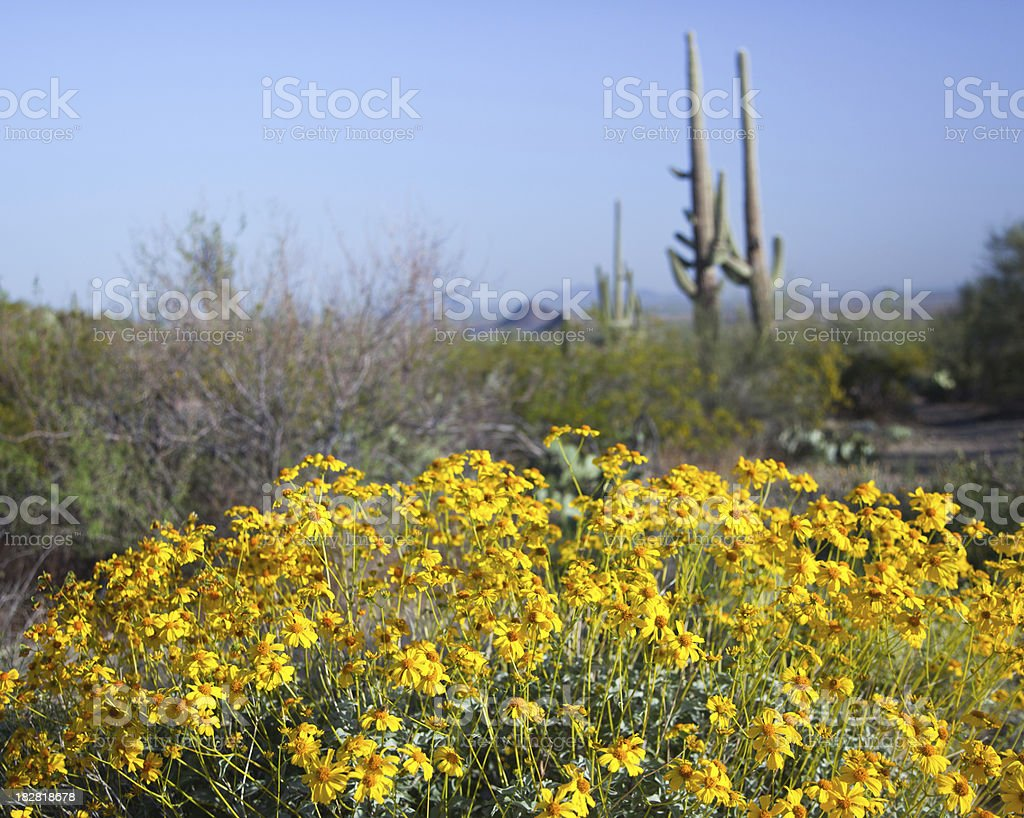 Brittlebush Flowers and Saguaro Cactus stock photo