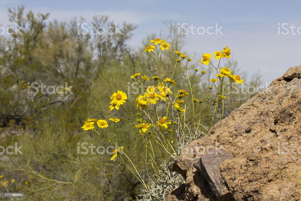Brittlebush Flowers Growing from Rock royalty-free stock photo