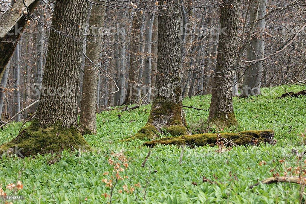 Bärlauch im Wald stock photo