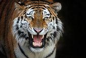 Am Abend ruft ein Tiger nach einer Tigerin.